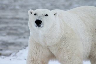 Polar bear, vulnerable species