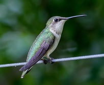 bird counting, conservation events, Hummingbird