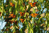 Monarch butterfly migration, conservation events