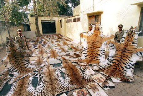 poaching, illegally hunting, tigers
